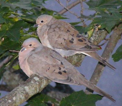 turtle-doves